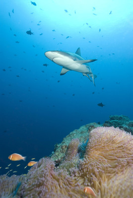 Reef shark off the coast of Palau.  (PRNewsFoto/The Pew Environment Group)