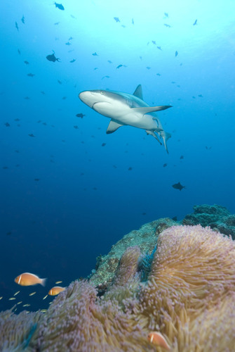 'Million-Dollar Reef Sharks' an Economic Driver for Palau
