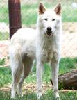 Fidget, the rescued Arctic Wolf.  (PRNewsFoto/The Wild Animal Sanctuary (Rocky Mountain Wildlife Conservation Center))