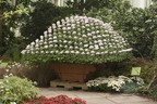 Kiku Return to The New York Botanical Garden as Feature of Fall Flowers of Japan