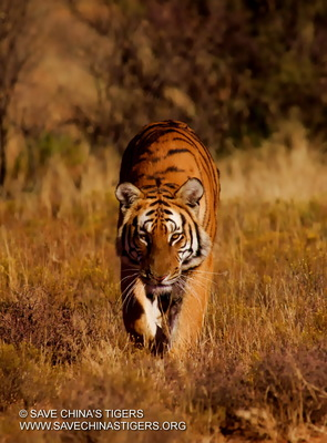 Chinese Tiger Project Going Strong Despite Departure of Co-Founder