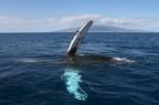 Maui whale watching tours on Leilani & Pride of Maui.