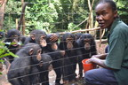 A staff member at the Tacugama Chimpanzee Sanctuary feeds a group of orphaned chimpanzees in Sierra Leone, Africa. Due to the devastating Ebola outbreak that was confirmed in Sierra Leon in May and the resulting drop in tourism to the area, the Sanctuary's funding was negatively impacted and the care of the chimpanzees jeopardized. The SeaWorld & Busch Gardens Conservation Fund board reviewed and approved the crisis grant request in September and provided financial support to offset their funding issues.