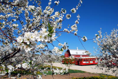 Over 2,000 acres of cherry blossoms take orchards in Door County, WI by storm each year during their annual Season of Blossoms celebration. Photo courtesy DoorCounty.com/Door County Visitor Bureau.