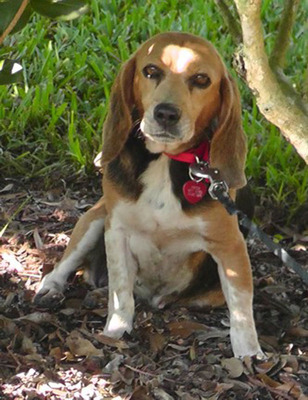Dennis Lehane, Missing Beagle, Tessa.  (PRNewsFoto/American Dog Rescue)