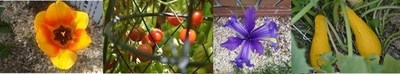 Tulips, tomatoes, iris and squash grown in gravel, tosoilless.com