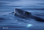 Japan's resumption of Antarctic 'scientific whaling' under the spotlight as key meeting of International Whaling Commission convenes