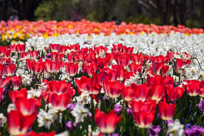 Dallas Blooms at the Dallas Arboretum March 2 - April 7.  (PRNewsFoto/Dallas Arboretum and Botanical Gardens)