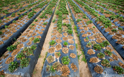 Alternatives to fumigation fail to control plant disease in strawberry field. (PRNewsFoto/California Strawberry Commission)