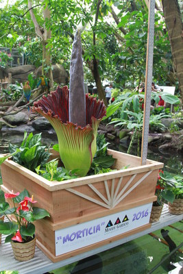 """Moody Gardens Corpse Flower """"Morticia"""" opened Saturday afternoon in Galveston, TX. She is beautiful and breahtaking in more ways than one, emitting an odor that smells like rotting flesh."""