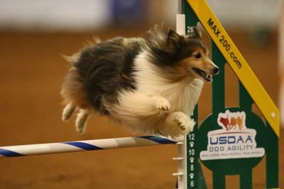 A Shetland Sheepdog jumps a hurdle at a United States Dog Agility event.