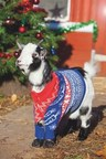 Paddy the pigmi goat, from UK charity Send a Cow dons his Christmas jumper to encourage people to move away from traditional gifts this festive period and instead purchase a gift which can make a tangible difference to the lives of some Africa's poorest people. (PRNewsFoto/Send a Cow)