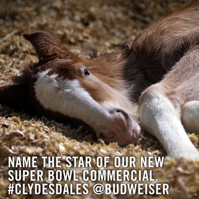 Budweiser launched its official Twitter feed on Sunday, January 27, with a tweet inviting fans to name the baby Clydesdale featured in its Super Bowl XLVII spot.  (PRNewsFoto/Anheuser-Busch)
