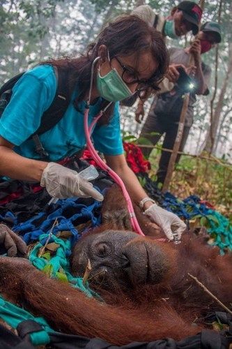 The sedated mother orangutan after she was hit by the dart and fell from a tall tree into a net held by IAR's rescue team below. (PRNewsFoto/International Animal Rescue) (PRNewsFoto/International Animal Rescue)