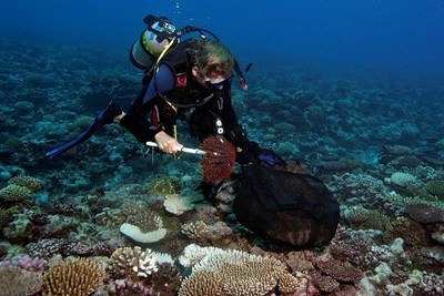 Dr. Andrew Bruckner, Chief Scientist for the Khaled bin Sultan Living Oceans Foundation, collects crown of thorns starfish (COTS) from a coral reef. Outbreaks of these coral-eating starfish can decimate a coral reef in a matter of weeks.