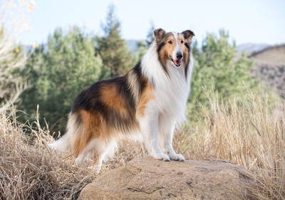 Save the Children has announced that Lassie is taking on a new role to protect U.S. children from disaster as ambassador for Save the Children's Get Ready Get Safe initiative. Photo courtesy of DreamWorks Animation. (PRNewsFoto/Save the Children)
