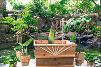 "A rare Corpse Flower named ""Morticia"" is expected to bloom within the next week at Moody Gardens in Galveston, TX. It is one of only five to bloom in Texas and 122 in the U.S. since 1937. This is the second time for Morticia to bloom. It bloomed for the first time in 2012."