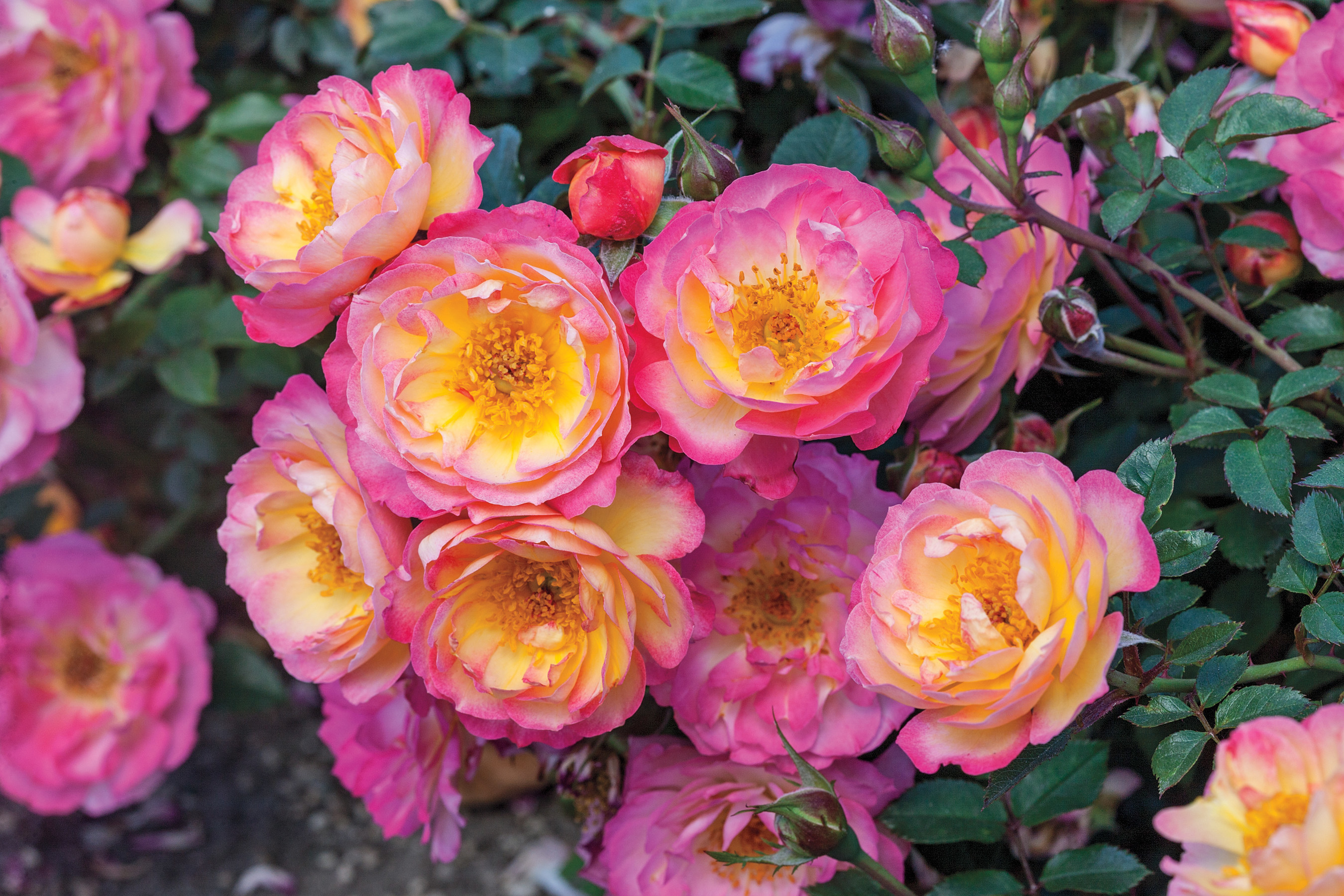 Weeks Roses Reveals Five Tips For Growing Healthy Roses