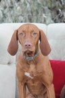 Penny, the 9-month-old Vizsla pup who found herself 2,400 miles away from her Washington home, gets a new Invisible Fence this weekend plus $1500 donated in her name to Homeward Pet Adoption Center to fund a free microchipping project for a local community in Washington state.