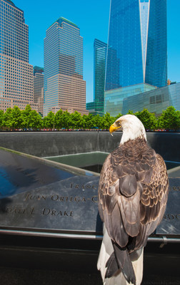 In 2015, the American Eagle Foundation (AEF; WWW.EAGLES.ORG) and Challenger the Bald Eagle visited the Reflecting Pools at the National September 11 Memorial & Museum and also the One World Trade Center. Two weeks after September 11th, 2001, the AEF and Challenger visited Ground Zero and many fire stations, police stations, and rescue centers to try and lift the spirits of those affected by the tragedy. Photo (C) 2016 American Eagle Foundation, All Rights Reserved. Photographer: Dan Lane Williams