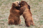 Two Rescued Grizzly Bears playing together in their large acreage habitat.  (PRNewsFoto/The Wild Animal Sanctuary (Rocky Mountain Wildlife Conservation Center))