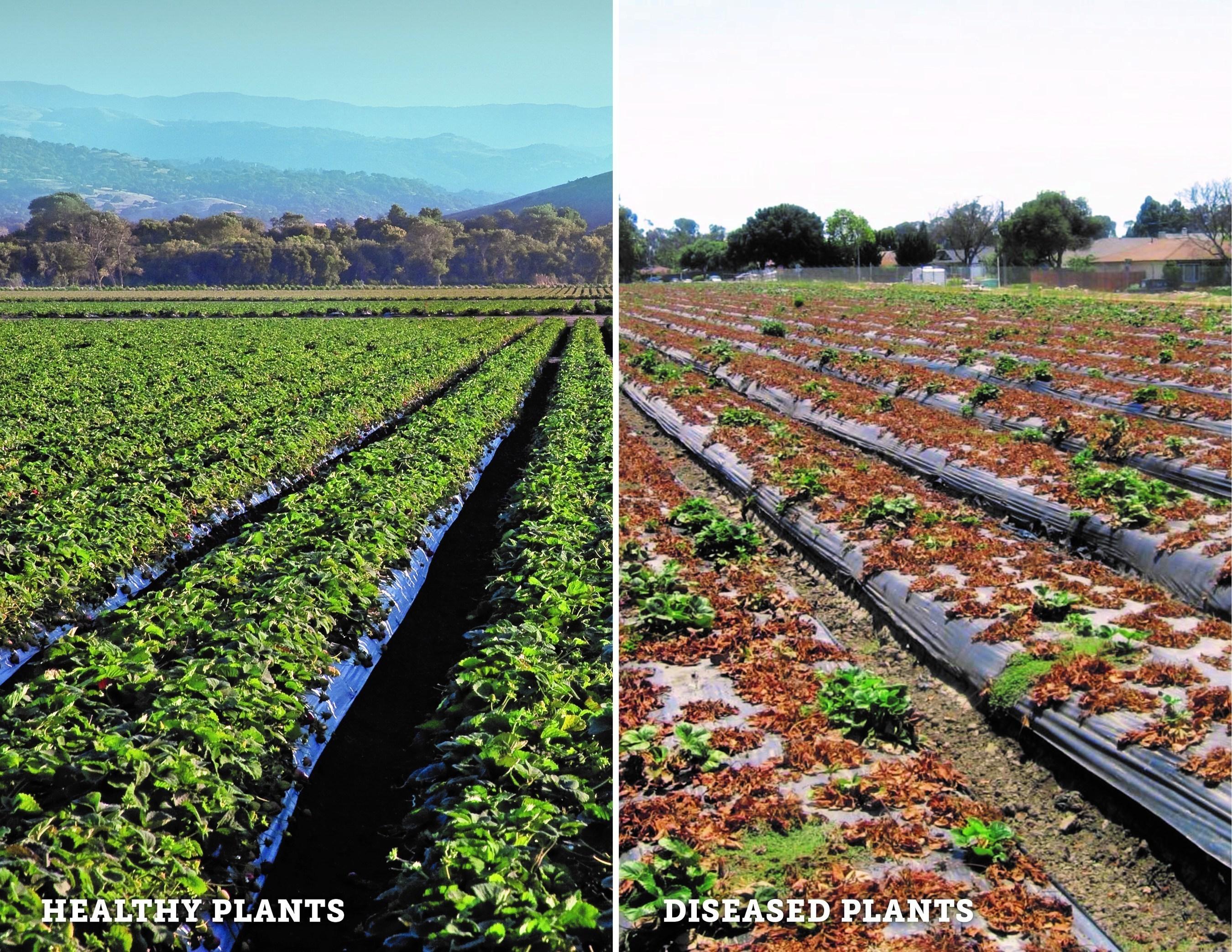 Healthy vs. Diseased Strawberry Fields.