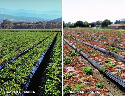 Healthy vs. Diseased Strawberry Fields.