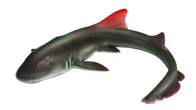 The Epalzeorhynchos ruber, or Redfin Shark, was discovered on March 28 outside of Seattle, WA. Redfin, a tech-powered real estate brokerage, adopted the shark as the company mascot. (April Fool's).  (PRNewsFoto/Redfin Corporation)