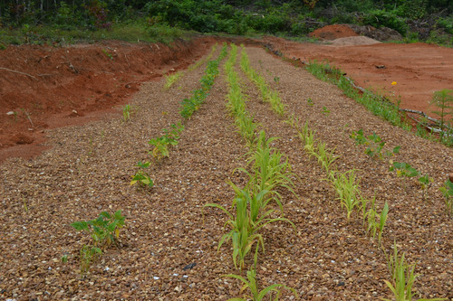 Beans and corn rows planted 115 days ago at the gravel garden field in North Carolina. These corn and bean ...