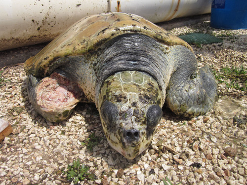 An endangered sea turtle has fallen victim to cannibalism due to the poor conditions covered up for months at the Cayman Turtle Farm. (PRNewsFoto/World Society for the Protection of Animals) (PRNewsFoto/WORLD SOCIETY FOR THE PROTECT...)