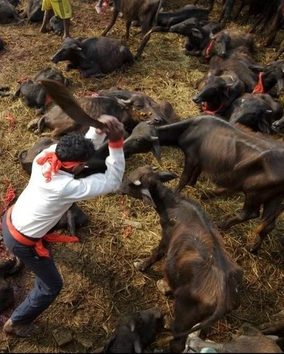 Hundreds of thousands of animals have been sacrificed every Gadhimai festival in Nepal, the world's largest animal sacrifice event. Humane Society International/India witnessed the massacre in 2014 and has campaigned ever since to end the ritual killing. (PRNewsFoto/Humane Society International) (PRNewsFoto/Humane Society International)