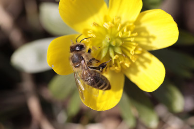 Honey bees and other pollinators are responsible for one out of every three bites of food.