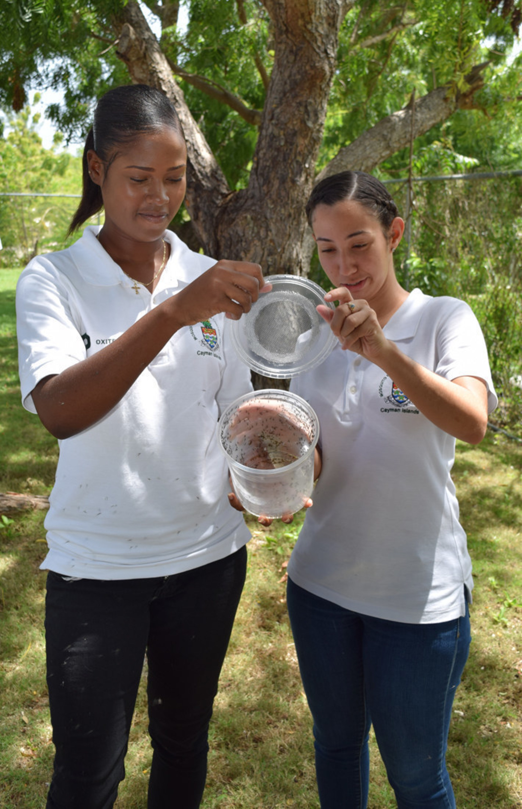 """Giselle Johnson and Heidi Groves, who work on the mosquito programme, open pots of genetically modified """"Friendly Aedes aegypti mosquitoes"""". (PRNewsFoto/Oxitec Ltd)"""