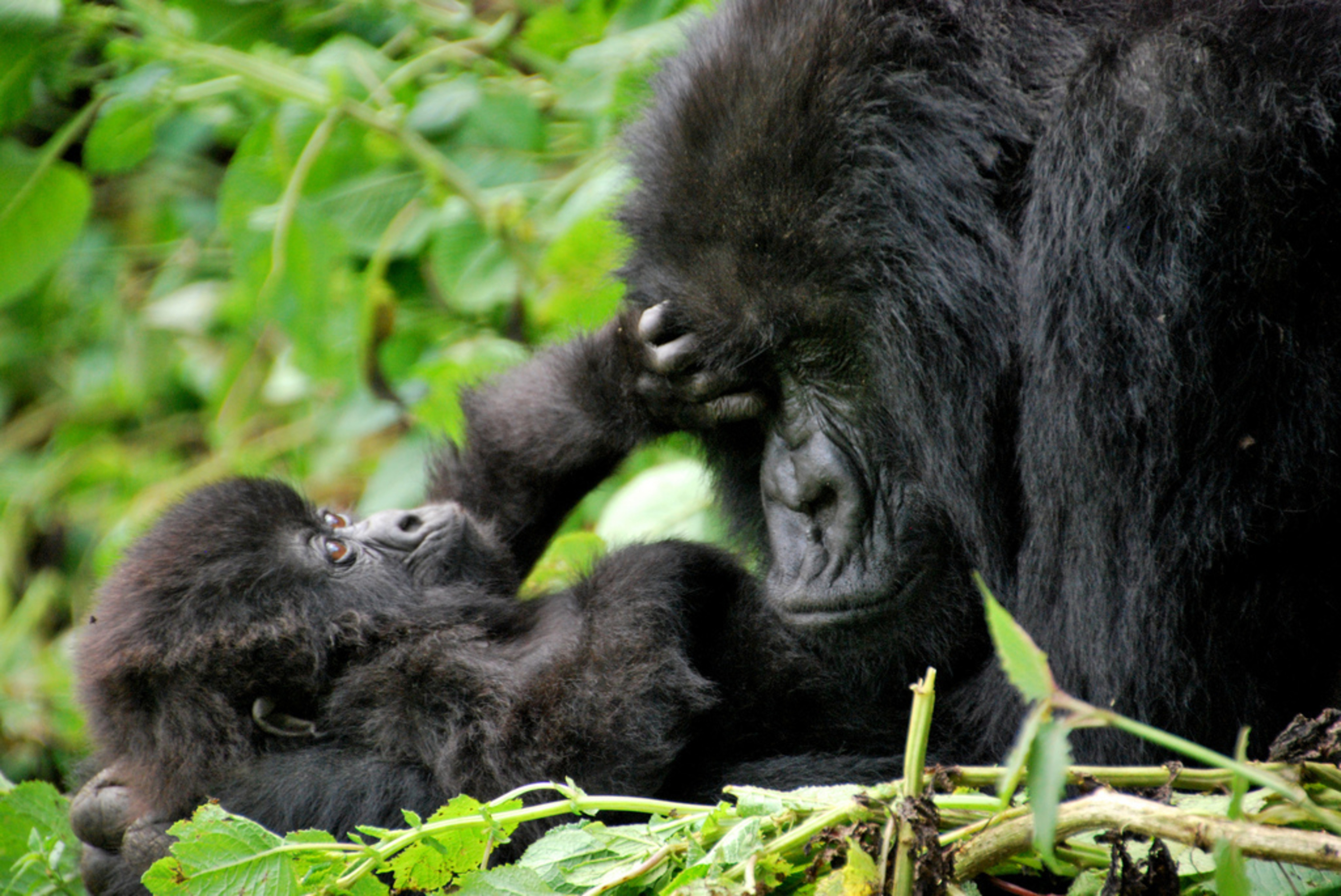 One of the females from the Sabyinyo group, with its infant in the gorilla habitant in the volcano national park (PRNewsFoto/KT Press)