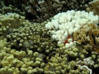 Healthy and bleached coral side by side in Hawaii. October 2014. Photo credit to Raphael Ritson-Williams.