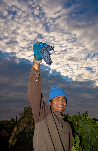 A California vineyard worker celebrates the completion of the winegrape harvest.  Vintners are happy with the ...