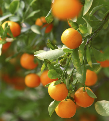 The most destructive citrus disease in the world, Huanglongbing (HLB), has devastated some citrus-growing regions in the U.S. and now specifically threatens California. Introduced by the Asian citrus psyllid, a small insect that feeds on citrus trees, the disease spreads quickly, ravages citrus groves and has no cure. Prevention - controlling infestations of the insects - is the only option at this time.