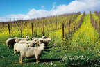 Fun winery events throughout California celebrate sustainable winegrowing in April to share how vintners and growers use earth-friendly practices such as sheep to mow weeds and cover crops between vineyard rows for soil fertility and beneficial insect habitat.