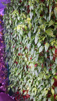 Vertical Aeroponically grown peppers and strawberries