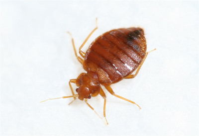 Bedbugs are on the rise across the U.S., according to the pest experts at Terminix. The company released a new list of the 15 most infested cities for the bloodsuckers in 2011.  (PRNewsFoto/Terminix)