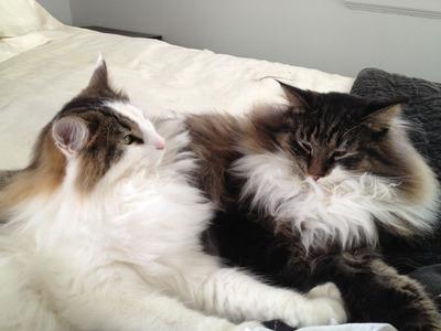 Two of Three Norwegians beautiful cats.  (PRNewsFoto/Three Norwegians)