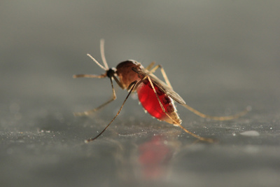 According to Orkin, June, July and August are prime months for mosquito activity in most areas due to warmer temperatures, but the season can stretch through October. Mosquitoes are one of the world's most dangerous pests, affecting humans and animals alike. (PRNewsFoto/Orkin, LLC)