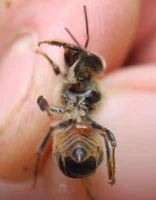 As few as three Varroa mites per 100 honey bees suggest that the colony is in trouble.