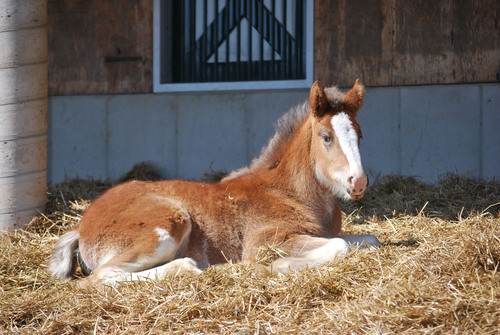 "Baby Clydesdale Hope, star of Budweiser's Super Bowl spot ""Brotherhood,"" rests at her home in Warm Springs Ranch in March 2013. Warm Springs Ranch, located in Boonville, MO, opens to the public on April 1, where visitors will be able to see more than 35 baby Clydesdales throughout the 2013 season.  (PRNewsFoto/Anheuser-Busch)"