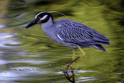 Yellow-crowned Night-Heron at J.N. Ding Darling National Wildlife Refuge in Fla. | Credit: Craig Goettschof, Second Place Winner