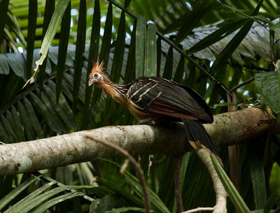 A Hoatzin, a tropical bird native to South America, watches as visitors make their way through Ecuador's Yasuni National Park in August, 2011. Yasuni is one of the most biodiverse places in the world, with countless species of wondrous mammal, bird, insect, and tree life. A vast oil discovery under the park means that many of these species now face extinction, unless the international community helps support Ecuador save Yasuni and protect it from oil drilling.  (PRNewsFoto/United Nations Development Programme)