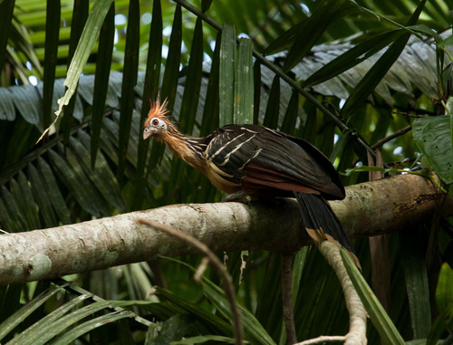 A Hoatzin, a tropical bird native to South America, watches as visitors make their way through Ecuador's ...