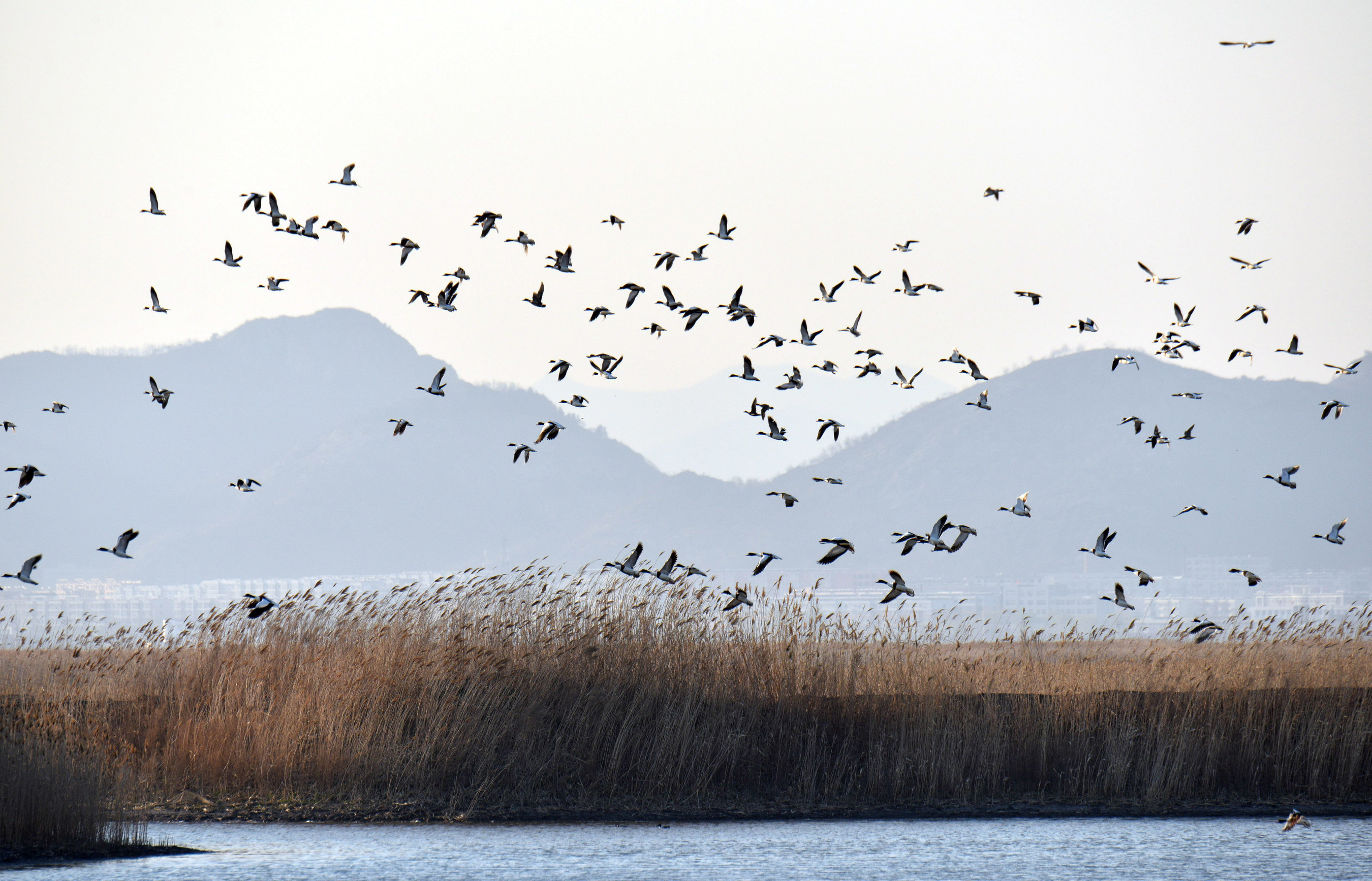 Following its restoration, the Dandong Yalu River Estuary Wetland is inhabited by over one million birds ...