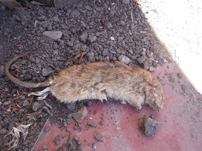 Figure 1 - this dead rat was found in the driveway of a Fannie Mae foreclosure in Richmond, CA in 2013.