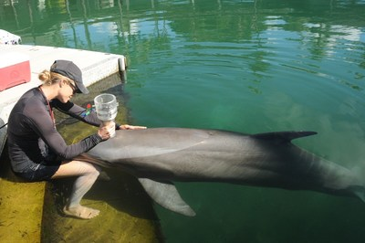 "Andreas Fahlman, PhD, the lead author of the study and professor of biology at Texas A&M University used a custom-made portable device called a pneumotachometer to measure the dolphin breaths. Pictured, Julie Rocho-Levine, Dolphin Quest Oahu, and her team used positive reinforcement and slow approximations, or ""baby steps"" which allowed the dolphins to become accustomed to the presence of the device before the study."